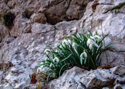 Ardita fioriera di Bucaneve