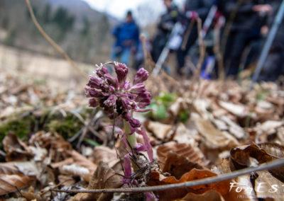 Prime fioriture del Farfaraccio maggiore (Petasites hybridus)