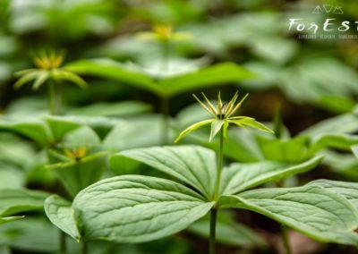 L'austera Uva di volpe (Paris quadrifolia)