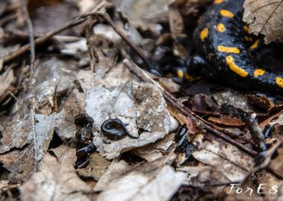 Deposizione di larve di Salamandra pezzata