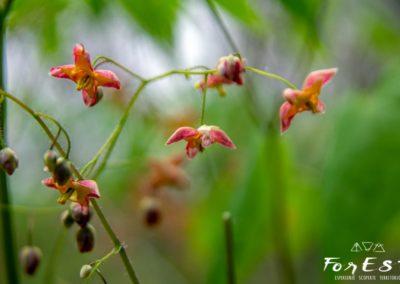 Delicata fioritura di Epimedio