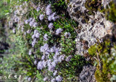 globularia cordifolia specie tipica delle rupi e dei prati magri