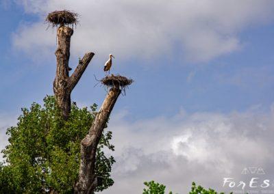 cicogna bianca all'oasi dei quadris di fagagna