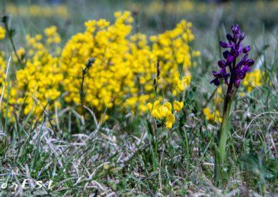 citiso strisciante cytisus pseudoprocumbens e anacamptis morio orchis orchide minore