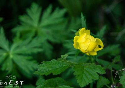 trollius europaeus botton d'oro fioritura dei pascoli alpini d'alta quota