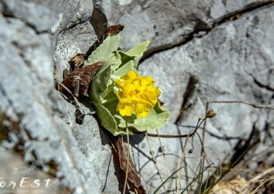 Splendida Primula auricola - Orecchia d'orso