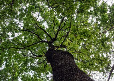 La dominatrice del bosco, la Rovere