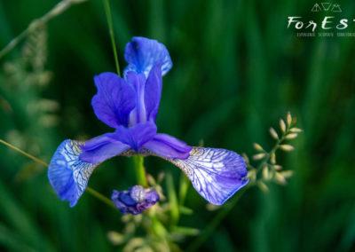 Meraviglioso Iris sibirica