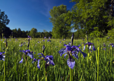 05_Maggio 2017 - Iris sibirica nei prati di Col San Floreano
