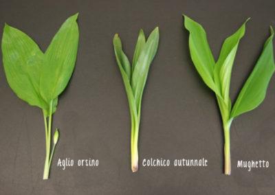 Differenze tra foglie aglio orsino, colchico, mughetto