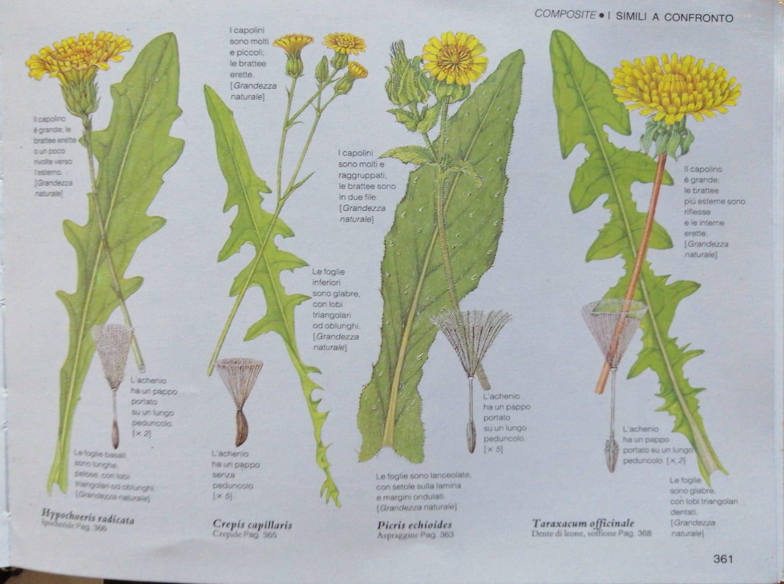 Fiori E Piante Commestibili alla ricerca delle erbe selvatiche - terza parte • forest