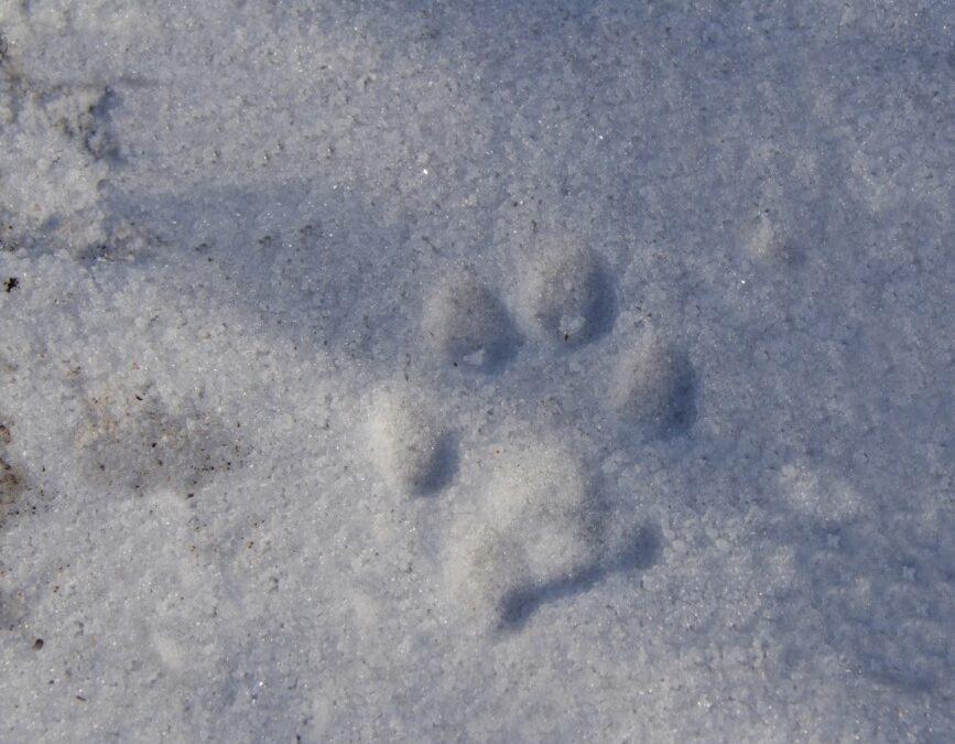Rubrica Impronte animali – Le impronte di cani e gatti (selvatici!)