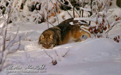 Il rapporto tra fauna selvatica, uomo, opinione pubblica e informazione