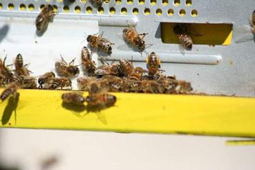 Figura 5: api all'ingresso di un'arnia con polline di nocciolo.