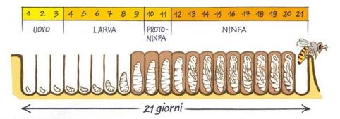 Figura 1: ciclo di sviluppo di un'ape operaia.