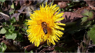 Figura 6: ape su fiore di tarassaco.